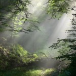 Light filtering through trees in a forest