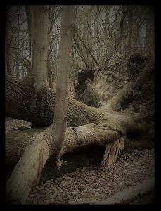filtered photograph of a huge dead fallen tree in the woodlands at Mariners Hill near Westerham for good girl suicide poem about parts of us needing to die